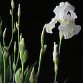 White Iris in Black of Night Print by Guy Ricketts