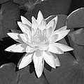 White Lotus 2 by Ellen Henneke