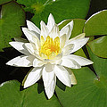 White Lotus by Ellen Henneke