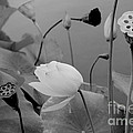 White Lotus Flowers In Balboa Park San Diego by Julia Hiebaum