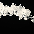 White Orchids Monochrome by Adam Romanowicz