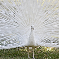 White Peacock - Fountain Of Youth by Christine Till