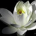 White Petals Aquatic Bloom by Julie Palencia