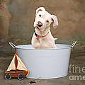 White Pitbull Puppy Portrait by James BO  Insogna