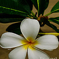 White Plumeria 2 by Cheryl Young