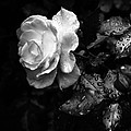 White Rose Full Bloom by Darryl Dalton