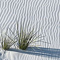 White Sands Grasses by Steve Gadomski