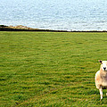 White Sheep In A Green Field By The Sea by Georgia Fowler