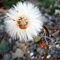 White Spring Wildflower by Patricia Januszkiewicz