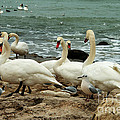 White Swans On Rocky Seashore