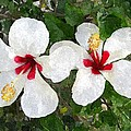 White Twin Hibiscus With Red Veriegation by Buzz  Coe