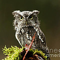 Whooo Goes There... Eastern Screech Owl  by Inspired Nature Photography Fine Art Photography