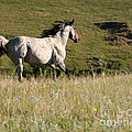 Wild Appaloosa Running Away by Sabrina L Ryan