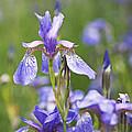 Wild Irises by Rona Black