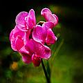Wild Pea Flower by Robert Bales