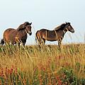Wild Ponies on Exmoo...