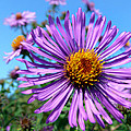 Wild Purple Aster by Christina Rollo