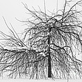 Wild Springtime Winter Tree Black And White by James BO  Insogna
