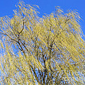 Wind in a Willow