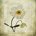 Windflowers by John Edwards