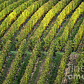 Wine Acreage In Germany by Heiko Koehrer-Wagner