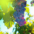 Wine Grapes  by Jeff Swan