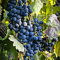 Wine Grapes by Tetyana Kokhanets