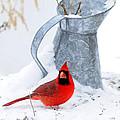 Winter Can Cardinal