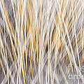 Winter Grass Abstract by Elena Elisseeva