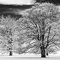 Winter Horse Chestnut Trees Monochrome by Tim Gainey