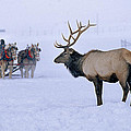 National Elk Refuge near Jackson Hole, Wyoming