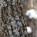 Winter Lichen by Elizabeth Sullivan