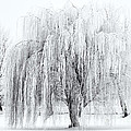 Winter Willow by Mike  Dawson