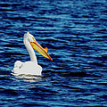 Wisconsin Pelican by Thomas Young