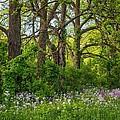 Woodland Phlox 2 by Steve Harrington