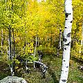 Yellow Aspens by Baywest Imaging
