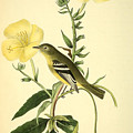 Yellow-bellied Flycatcher Print by Philip Ralley