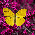 Yellow Butterfly by Garry Gay