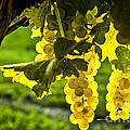Yellow Grapes In Sunshine by Elena Elisseeva