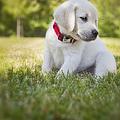 Yellow Lab Puppy In The Grass by Diane Diederich