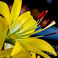Yellow Lily Anthers by Robert Bales