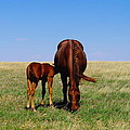 Young Colt And Mother by Jeff Swan