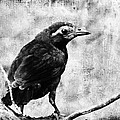 Young Grackle by Cassie Peters