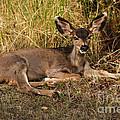 Young Mule Deer by Robert Bales