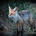 Young Red Fox by Robert Bales