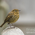 Young Robin by Anne Gilbert