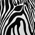 Zebra 13 Print by Jane Biven