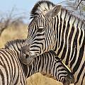 Zebra Bite Of Love by Hermanus A Alberts