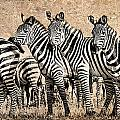 Zebra Herd Rock Texture Blend by Mike Gaudaur