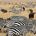 Zebra Migration Maas...